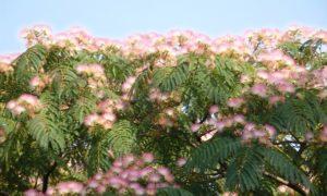 満開のねむの木